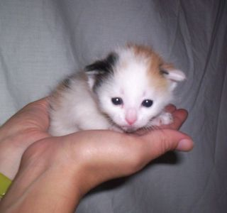 Calico baby lighter