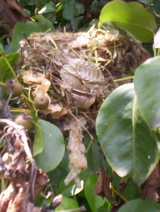 Nest with snake skin 2
