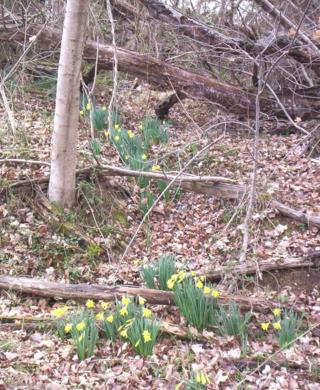 Spilling daffodils