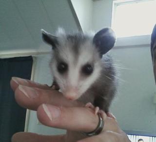Baby possum2