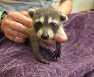 First raccoon