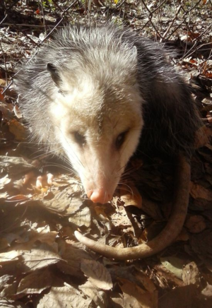 Opossum10