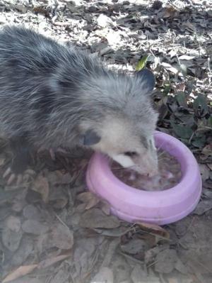 Opossum11