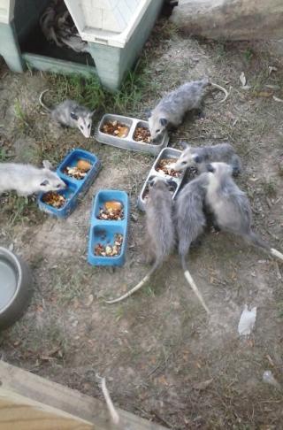Possums eating