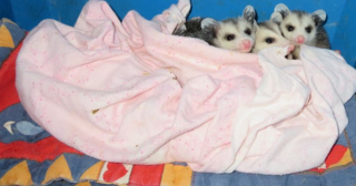 Three opposums