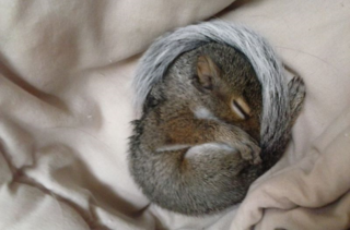 Curl squirrel