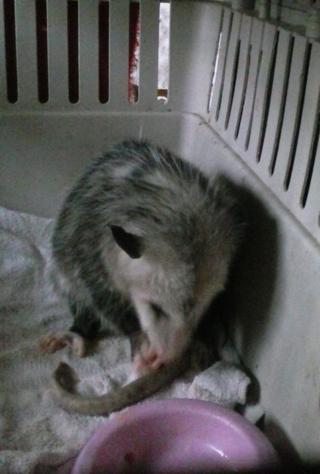 Opossum7