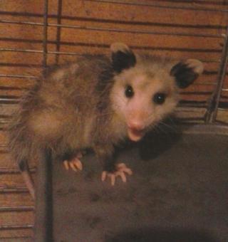 Medium possum