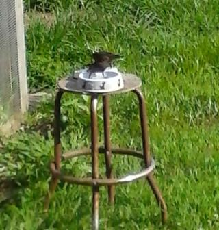 Starlings being released2