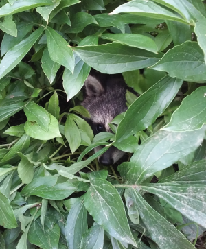 Raccoon learning to hide2