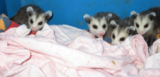 Four opposums