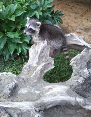 Raccoon learning to climb