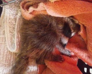 Tiny sick raccoon