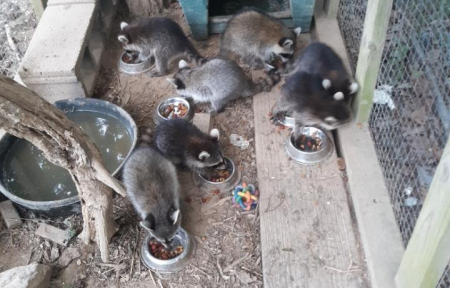 July 1raccoons