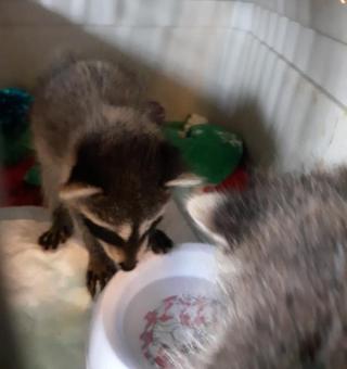 Raccoon2021l