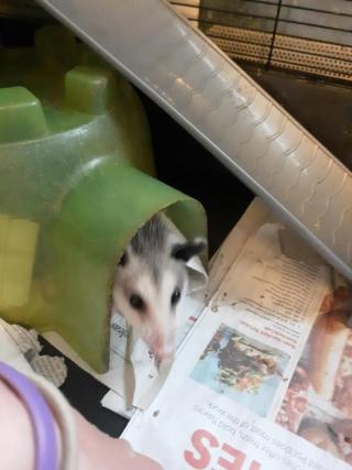 Opossum5