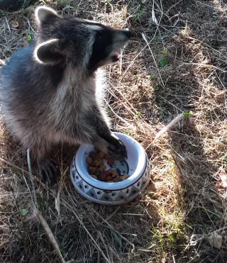 Raccoon6-27h