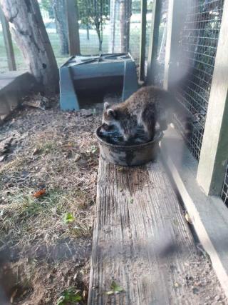 Raccoon6-28c