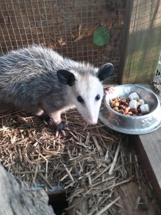 Opossum8