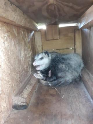 Opossumtrash2