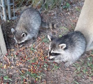 Raccoonrelease4