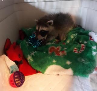 Raccoon2021c