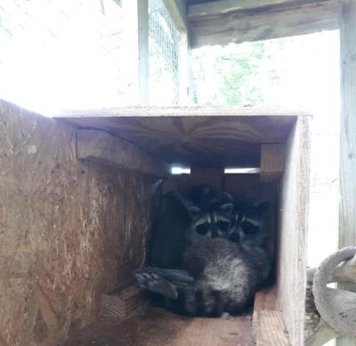 Wobbly raccoon1