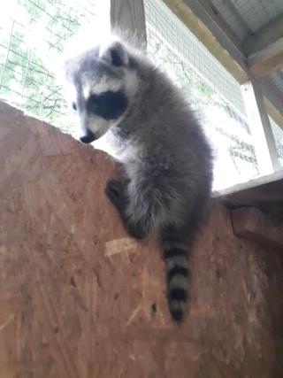 Wobbly raccoon2