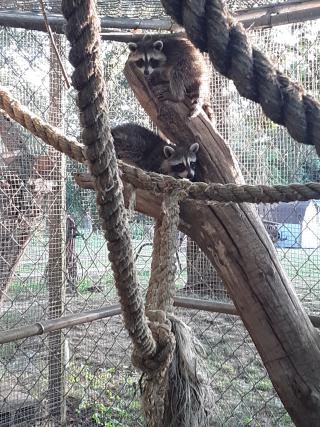 Raccoon6-27