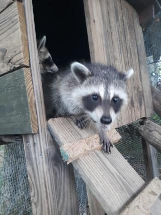 Raccoon6-27k