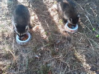 Raccoon6-27e