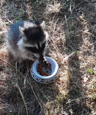 Raccoon6-27g