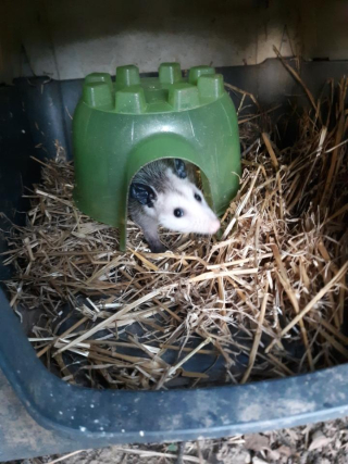 Opossum6