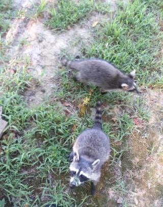 Raccoon728