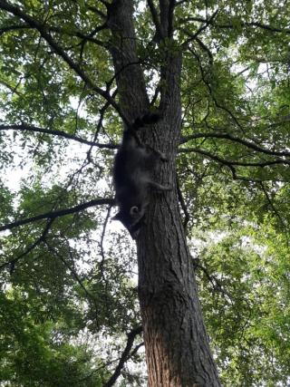 Raccoonrelease1
