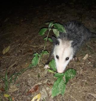 Opossumrelease1