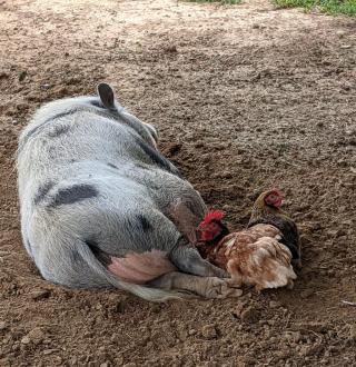 Pigandchicken1