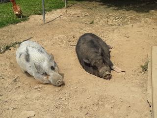 Pigsb