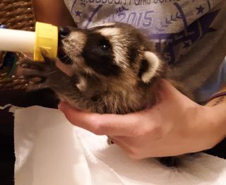 Raccoon2021f