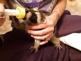 Raccoon2021i