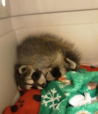 Raccoon2021a