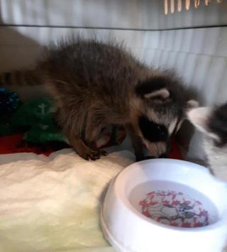 Raccoon2021k