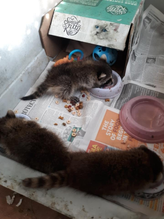Raccoonsnewthree