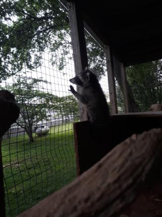 Wobbly raccoon3