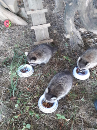 Raccoon6-27j