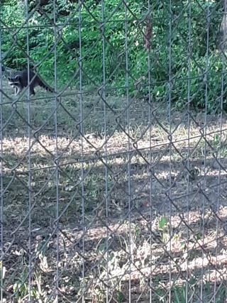 Raccoon6-27f