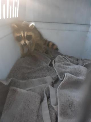 Raccoon6-28