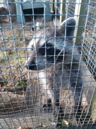 Raccoon6-28b