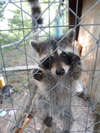Raccoon7-6