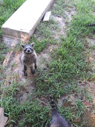 Raccoon728a